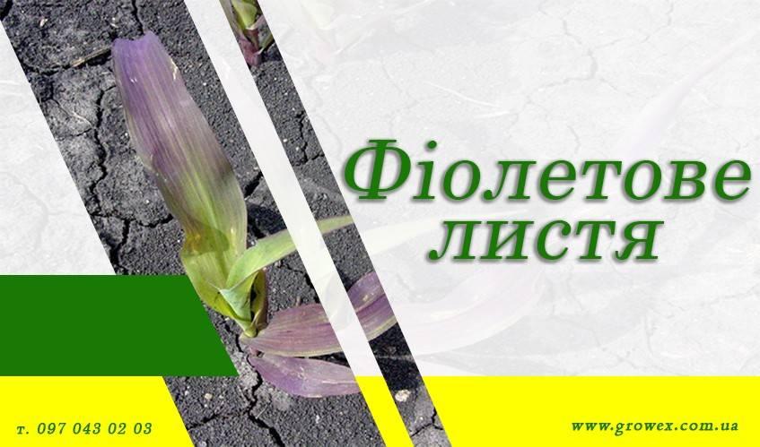 АгроНЯНЯ # 5 Почему листья кукурузы и пшеницы фиолетовые?