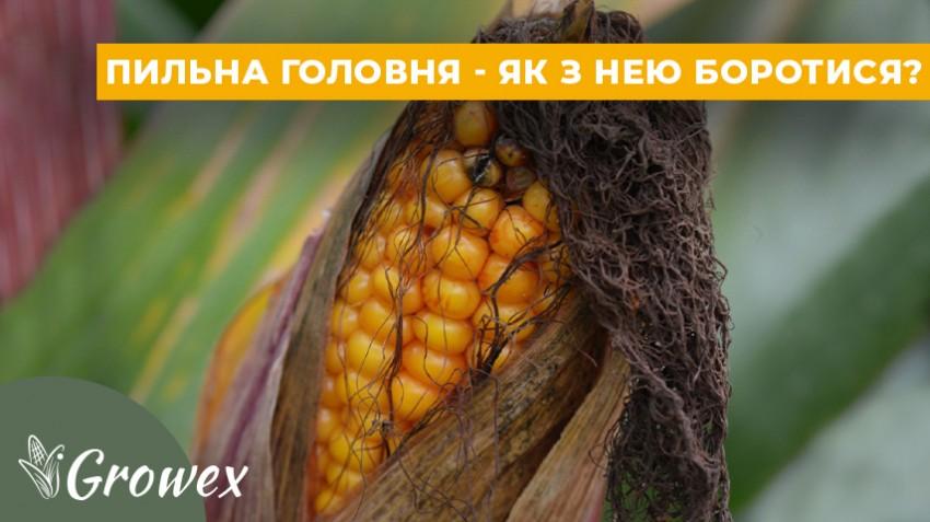 Пыльная головня кукурузы - что это и как с ней бороться?
