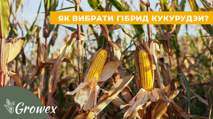 Как выбрать гибрид кукурузы?