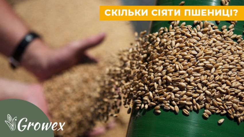 Как рассчитать норму высева озимой пшеницы?