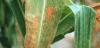 Основные заболевания кукурузы