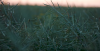 Як визначити біологічну урожайність ріпаку?