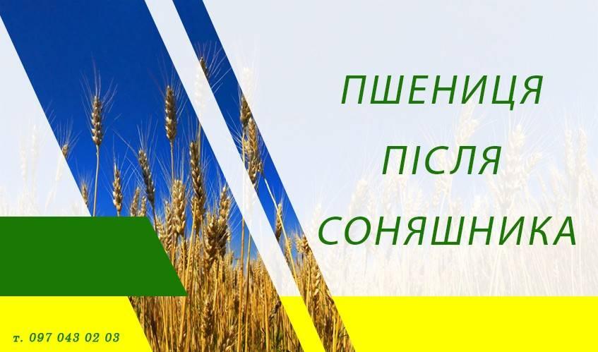 Пшеница после подсолнечника