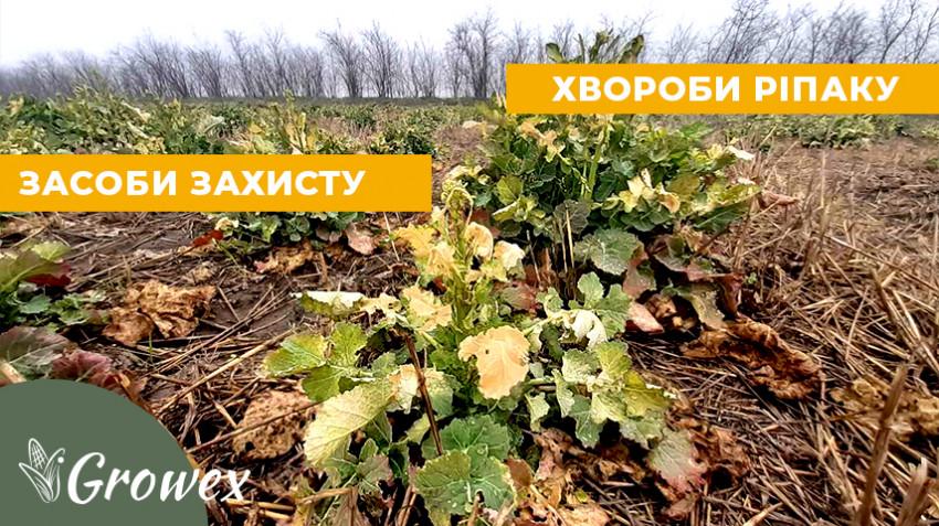 Основные болезни озимого рапса весной