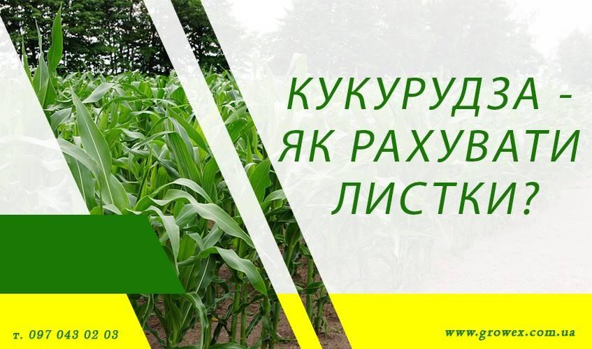 Кукуруза - как считать листья?