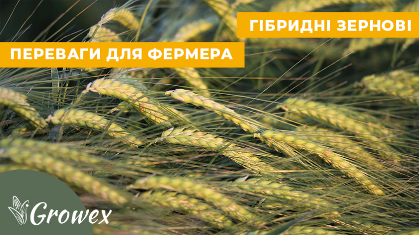 Гибридные зерновые. Революция селекции или необходимость?