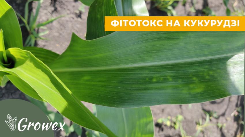 Признаки фитотоксичности на кукурузе